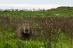 Capybara (Hydrochoerus hydrochaeris), Ibera Provincial Reserve, Ibera Wetlands, Argentina