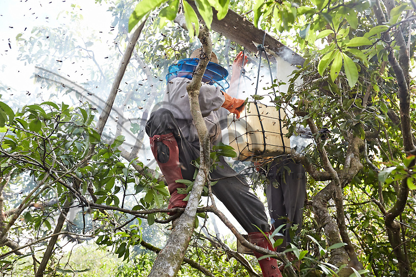 The harvesting of a honey board during the day has to be quick. The harvester climbs the tree, smokes abundantly with the smoker and within a few minutes cuts the end of the comb. Then he climbs back down and onto the boat that immediately sails away to avoid the many attacks and also let the bees return to their nest. ///La récolte d'une planche à miel de jour se doit d'être rapide. L'apiculteur grimpe à l'arbre, enfume abondamment et en quelques minutes coupe l'extrémité du rayon. Puis il redescend sur le bateau qui s'éloigne immédiatement pour éviter de nouvelles attaques et permettre aux abeilles de revenir.