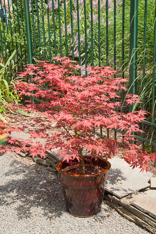 Acer palmatum red Japanese maple in glazed red container on patio in front of iron fence