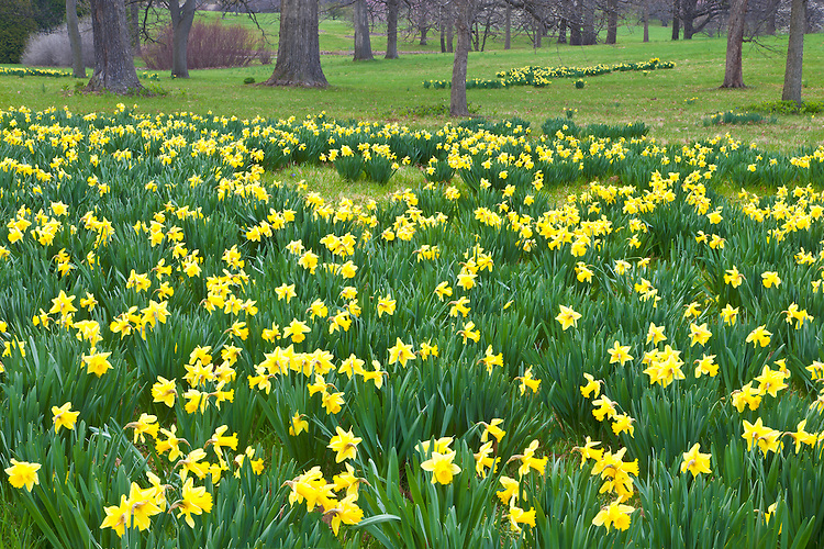 Daffodils (Daffodil pseudonarcissus) in bloom at The Morton Arboretum; Lisle, IL