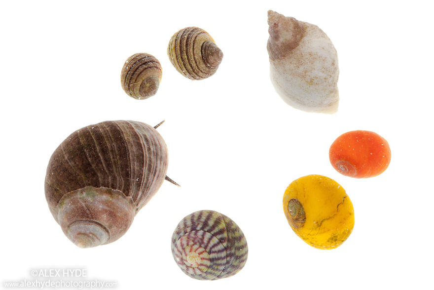 Selection of gastropods commonly found in rockpools, clockwise from top left: Periwinkle {Littorina compressa / nigrolineata}, Dogwhelk {Nucella lapillus / Thaius lapillus}, Common Flat Periwinkle {Littorina obtusata},  Purple Topshell {Gibbula umbilicalis}, Edible Periwinkle {Littorina littorea}. Photographed on a white background. Isle of Skye, Inner Hebrides, Scotland, UK. March.