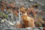 Portrait of sitting red fox in Denali National Park.