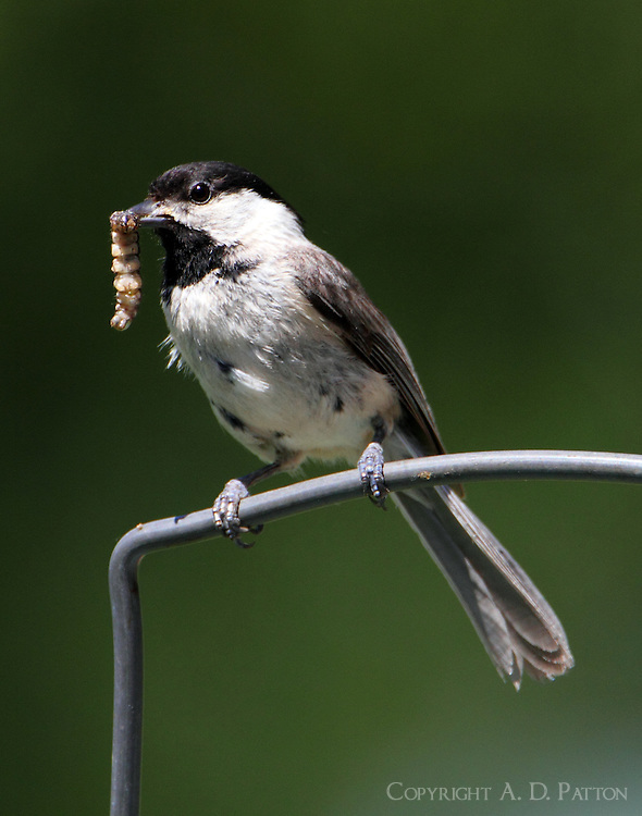 Carolina chickadee with worm ro feed babies. The nest was located inside a bird feeder that had a hole just large enough to admit the bird.