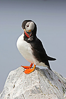 Atlantic puffin preening,