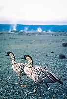 endemic and endangered native Hawaiian goose or nene, Branta sandvicensis, Kilauea, Hawaii Volcanoes National Park, Big Island, Hawaii, USA
