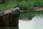 Kingfisher perches on a rock.