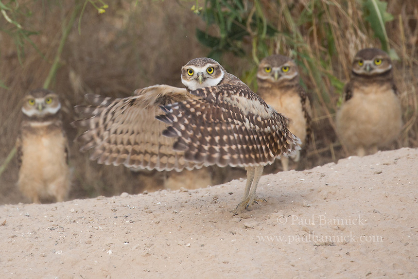 A Junvenile Burrowing Owl flaps its wings in front of its siblings at the nest.