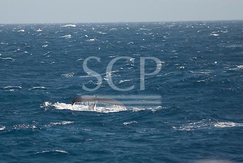Australia. Whale swimming in the sea off Sydney.