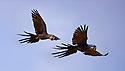 Pair of Hyacinth Macaw (Anodorhynchus hyacinthinus) (Family Psittacidae) in flight.Taiama Ecological Reserve, Paraguay River, Pantanal, Brasil. (IUCN: Endangered) (digitally modified)