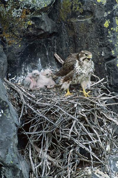 Prairie Falcon (Falco mexicanus) at nest.  Western U.S.,  May.