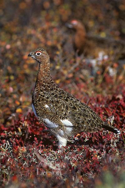 Willow Ptarmigan (Lagopus lagopus) well camouflaged in fall colored tundra.  Alaska.