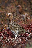 Willow Ptarmigan (Lagopus lagopus) well camouflaged in fall colored tundra.  Alaska.