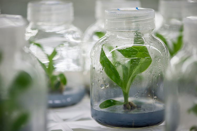 Tissue culture of orchid species at the Xishuangbanna Tropical Botanic Gardens.