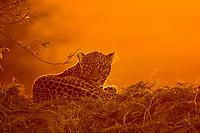 African leopard, Panthera pardus pardus, resting at sunset, Masai Mara, Kenya, Africa