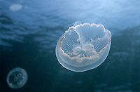 Two jellyfish floating in blue water.