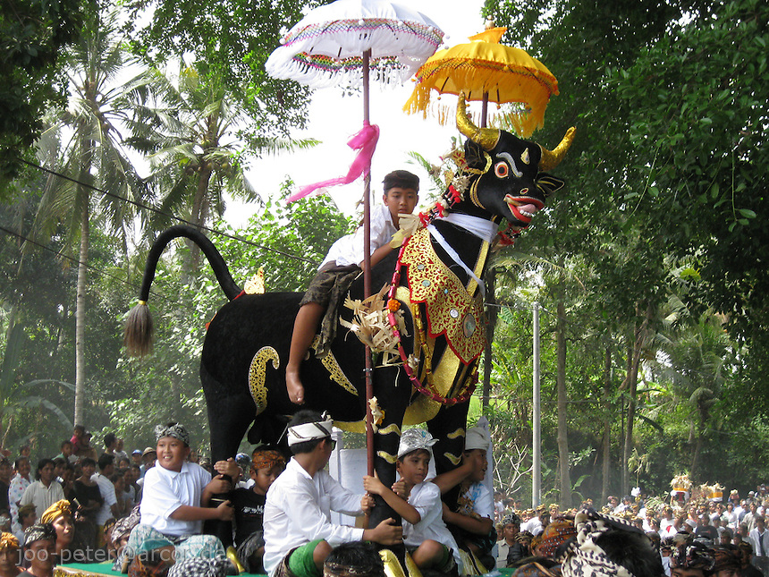 The black taurus is brought to the cremation place, a child of the family riding on it - cremation in village Mas, Bali, archipelago Indonesia