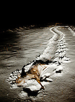 A white tail deer in the snow after being shot during a hunt in Grand Island, Nebraska, Saturday, December 3, 2011. ..Photo by Matt Nager