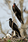 Magnificent Frigatebirds (Fregata magnificens) perched on tree branch. Pacheca Island, Las Perlas Archipelago, Panama, Central America.