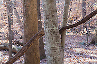 American Beech (Fagus grandifolia) with carvings, White Pines Natural Area, Pittsboro, North Carolina, USA.