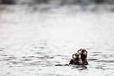 USA, Alaska, Homer, China Poot Bay, Kachemak Bay, sea otters spotted in the waters near the Kachemak Bay Wilderness Lodge