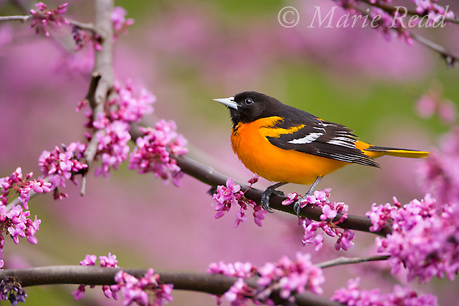 Baltimore Oriole (Icterus galbula) male perched in flowering eastern redbud in spring, New York, USA