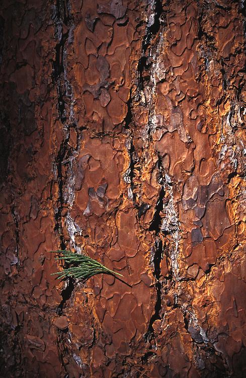 Bark with falling needles, California