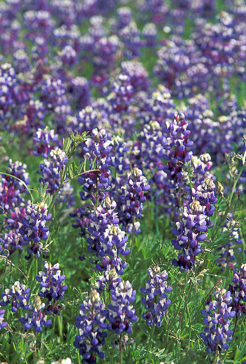 Lupine on the Mendocino Coast, Mendocino, California