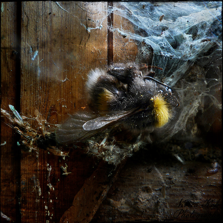 Bee trapped in spiderweb
