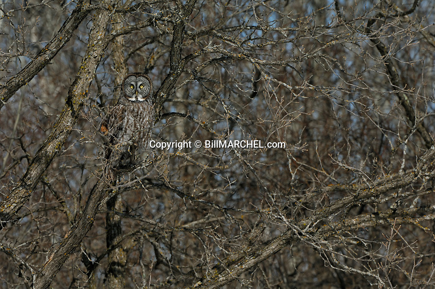 00830-049.20 Great Grey Owl is well-camouflaged as it is perched in bur oak tree.  Cryptic, hide, raptor, predator.  H2R1