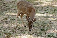 MAMMALS<br /> Mule Deer<br /> Odocoileus hemionus