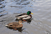 Male and female  Mallard ducks swimming on lake. Mallard ducks are one of the most commonly-known duck species