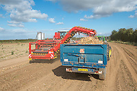 Harvesting processing onions with a Grimme Varitron 200 - Lincolnshire, August