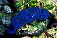 The colorful Giant Clam is one of many unique marine creatures found on display at the Waikiki Aquarium on Oahu.