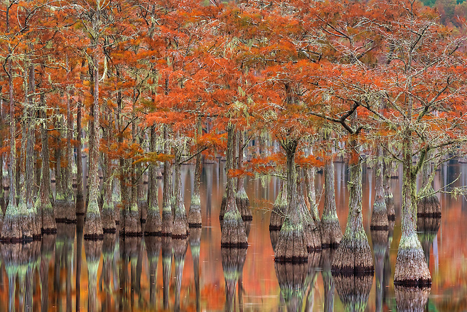 Beautiful fall color on old cypress trees reflected on the calm water of the swamplands just before sunrise.<br /> Artist Edition: 15/200 Limited