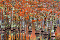 Beautiful fall color on old cypress trees reflected on the calm water of the swamplands just before sunrise.<br />