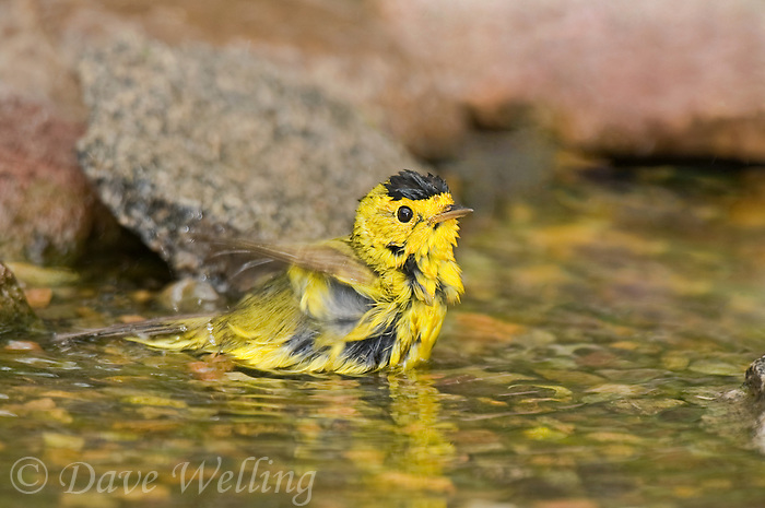 59237017 a wild male wilson's warbler cardinella pusilla - was dendroica pusilla - bathes in a small pond on south padre island cameron county texas united states