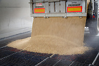 Tipping spring barley into a farm elevator pit - Suffolk, August