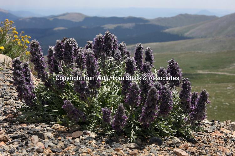 Purple Fringe (Phacelia sericea) a/k/a Silky Phacelia, Silky Scorpionweed. Mount Evans. Arapaho National Forest. Clear Creek Co., Colo.