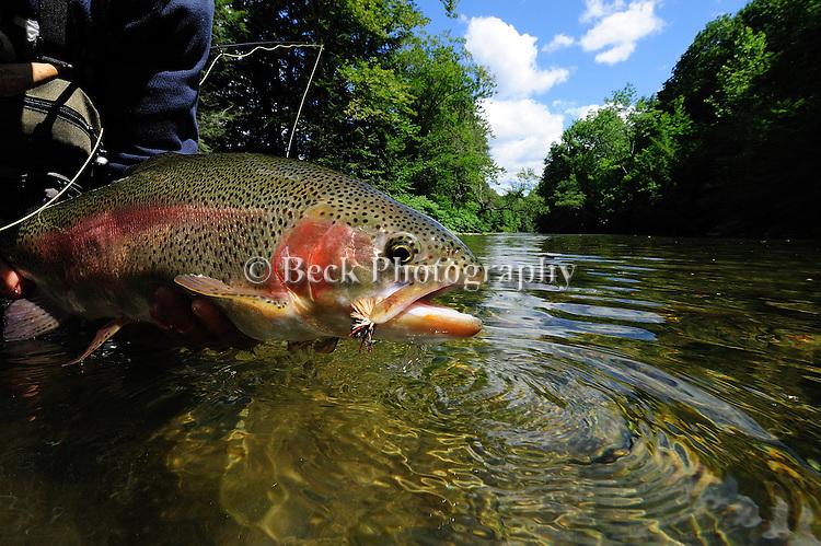 Summer Rainbow Trout