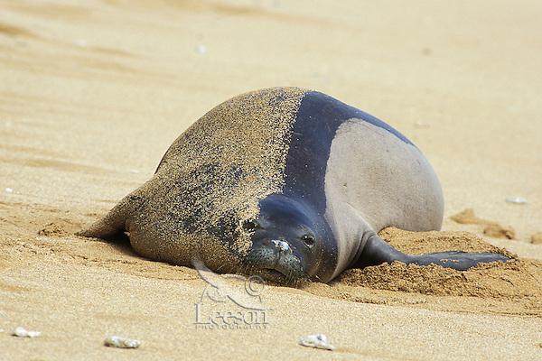 Hawaiian monk seal (Monachus schauinslandi) resting on beach, Kauai, Hawaii. Endangered Species.