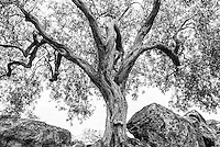 Black and white photo of an old olive tree in the Valley of the Temples (Valle dei Templi), Agrigento, Sicily, Italy, Europe. This is a black and white photo of an old olive tree in the Valley of the Temples (Valle dei Templi), Agrigento, Sicily, Italy, Europe.