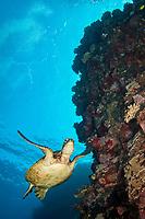 Green sea turtle, Chelonia mydas, Kona Coast, Big Island, Hawaii, USA, Pacific Ocean, Pacific Ocean