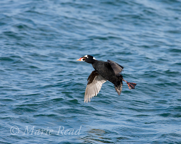 Surf Scoter (Melanitta perspicillata) male landing, Barnegat Inlet, New Jersey, USA