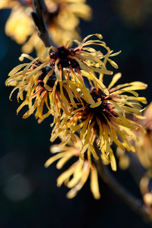 Witch hazel (Hamamelis x intermedia 'Harry'), end January.