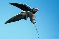 Rauchschwalbe, im Flug, Flugbild, fliegend, Rauch-Schwalbe, Schwalbe, Hirundo rustica, barn swallow