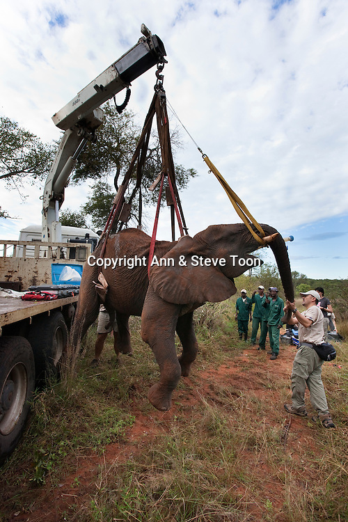 Wild elephant bull, Loxodonta africana, hoisted into position by crane for vasectomy operation in bush by the Elephant Population Management Program team with Dr Jeff Zuba, senior associate veterinarian with the San Diego Zoological Society holding the elephant's trunk. Private game reserve, Limpopo, South Africa