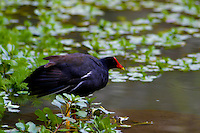 Hawaiian Gallinule also known as the Hawaiian Moorhen. Endangered. Endemic. Scienticfic name (Gallinule chloropus sandivicensis) Hawaiian name (alae ula) Photo taken in Audobon Nature Park, Oahu.