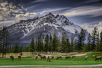 Elk grazing on golf course in Banff National Park, Alberta, Canada with Rocky Mountains looming in background