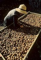 Europe/France/Midi-Pyrénées/46/Lot/Env de Saint-Clair : Séchage des noix<br /> PHOTO D'ARCHIVES // ARCHIVAL IMAGES<br /> FRANCE 1980
