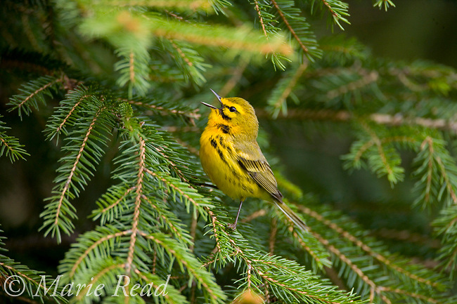 Prairie Warbler (Dendroica discolor) male singing on spruce bough, New York,  USA